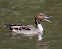 Pintail Quacking Royalty Free Stock Photography