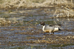 Pintail wades through wetlands. Stock Photo