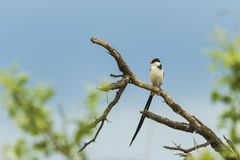 Pintailed Whydah sitting on a branch Royalty Free Stock Photo