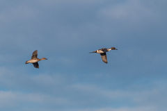 Pintails in flight Stock Images