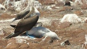pintainho Azul-footed da proteção do peito nas ilhas de Galalagos, Equador vídeos de arquivo