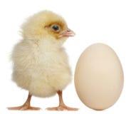 Pintainho com o ovo, 2 dias velho Foto de Stock Royalty Free