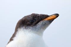 Pintainho curioso do pinguim de Gentoo Fotos de Stock Royalty Free