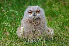 Pintainho da coruja de Eagle que descansa na grama imagem de stock royalty free