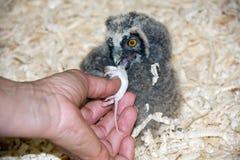 Pintainho da coruja Long-eared (otus do Asio) foto de stock royalty free