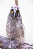 Pintainho da coruja Long-eared (otus do Asio) foto de stock