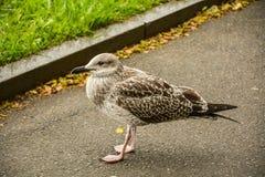 Pintainho da gaivota no passeio imagens de stock