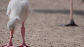 Pintainho das caraíbas do flamingo (ruber do ruber de Phoenicopterus) video estoque
