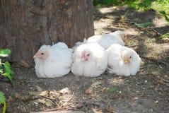 Pintainho de quatro brancos que senta-se na grama perto da árvore. Fotografia de Stock Royalty Free