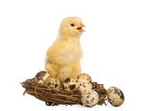 Pintainho (8 dias velho) que está em um ninho com ovos pequenos Fotografia de Stock Royalty Free