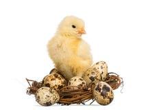 Pintainho (8 dias velho) que está em um ninho com ovos pequenos Imagens de Stock Royalty Free