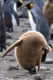 Pintainho do pinguim de rei do bebê que risca sua orelha Fotografia de Stock