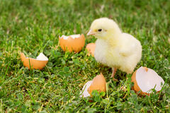 Pintainho pequeno com a casca de ovo na grama Fotografia de Stock Royalty Free