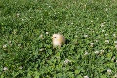Pintainho pequeno na grama Imagem de Stock Royalty Free