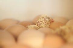 Pintainho recém-nascido do bebê foto de stock