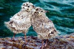 Pintainhos comuns da gaivota Foto de Stock Royalty Free