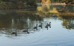 Pintainhos da cisne Foto de Stock Royalty Free