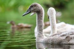 Pintainhos da cisne no rio imagem de stock royalty free