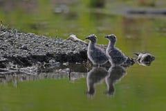 Pintainhos da gaivota na lagoa da mola Foto de Stock Royalty Free
