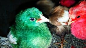 Pintainhos da galinha fotos de stock