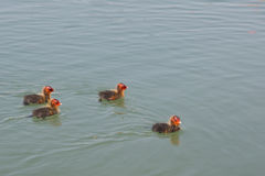 Pintainhos da galinha-d'água que nadam apenas Imagens de Stock