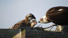 Pintainhos de alimentação da águia pescadora vídeos de arquivo