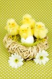 Pintainhos de Easter Fotos de Stock Royalty Free