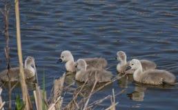 Pintainhos dias de idade do cisne novo fotos de stock