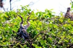 Pintainhos do Anhinga no ninho em Florida Fotografia de Stock