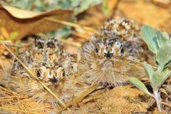 Pintainhos do galo silvestre de areia - fundo selvagem africano do pássaro - camuflagem exótica Foto de Stock