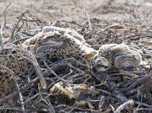 Pintainhos do Osprey em um ninho Imagens de Stock