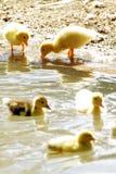 Pintainhos do pato da cena Fotografia de Stock Royalty Free