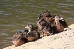 Pintainhos do pato selvagem (platyrhynchos dos Anas) Imagens de Stock