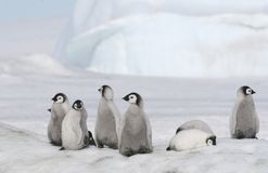 Pintainhos do pinguim de imperador Foto de Stock