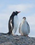 Pintainhos e pinguins fêmeas de Gentoo. foto de stock royalty free
