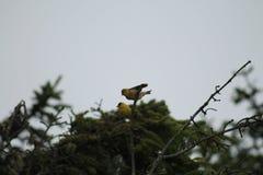 Pintassilgo amarelo em uma árvore Fotografia de Stock