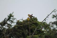 Pintassilgo amarelo em uma árvore Imagens de Stock Royalty Free
