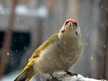 Pintassilgo do pássaro no selvagem Fotografia de Stock
