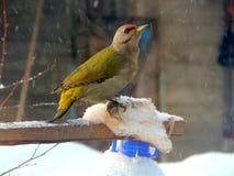Pintassilgo do pássaro no selvagem Fotos de Stock Royalty Free