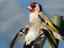 Pintassilgo do pássaro no selvagem Fotos de Stock