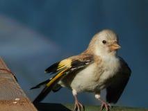 Pintassilgo do pássaro no selvagem Imagens de Stock Royalty Free