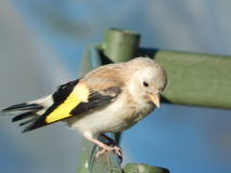 Pintassilgo do pássaro no selvagem Fotografia de Stock Royalty Free