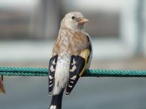 Pintassilgo do pássaro no selvagem Imagem de Stock