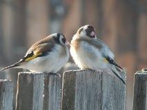 Pintassilgo do pássaro no selvagem Imagem de Stock Royalty Free