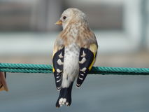 Pintassilgo do pássaro no selvagem Imagens de Stock