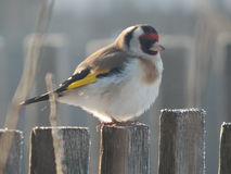 Pintassilgo do pássaro no selvagem Foto de Stock Royalty Free