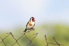 Pintassilgo do pássaro que senta-se em uma cerca do metal foto de stock
