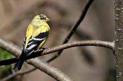 Pintassilgo masculino que muda à plumagem da criação de animais Fotografia de Stock Royalty Free