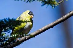 Pintassilgo masculino que muda à plumagem da criação de animais Imagem de Stock