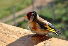 Pintassilgo pequeno do pássaro de bebê com feathering amarelo Fotografia de Stock